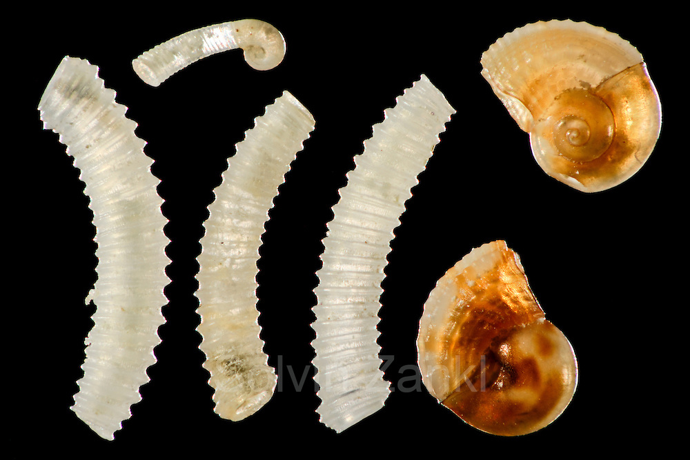 [Digital focus stacking] Biogenous particles from calcareous sand sample: left snails, family Caecidae, upper juvenile. Right shells from juvenile Architectonicidae. Raja Ampat, Indonesia. Diagonal of frame approx. 3mm | Biogene Partikel aus Kalksandprobe: links Schnecke Familie Caecidae, oben juvenil. Rechts Schalen von juvenilen Architectonicidae.  Raja Ampat, Indonesien Bilddiagonale ca. 3 mm