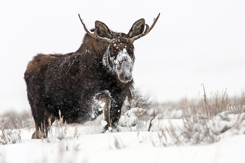 Most bull moose lose their antlers by mid-January, but this young bull retained his rack until early February as he trudged through a winter storm in search of forage in Grand Teton National Park.