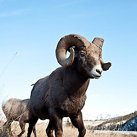 trophy bighorn ram low angle wide full frame wild rocky mountain big horn sheep