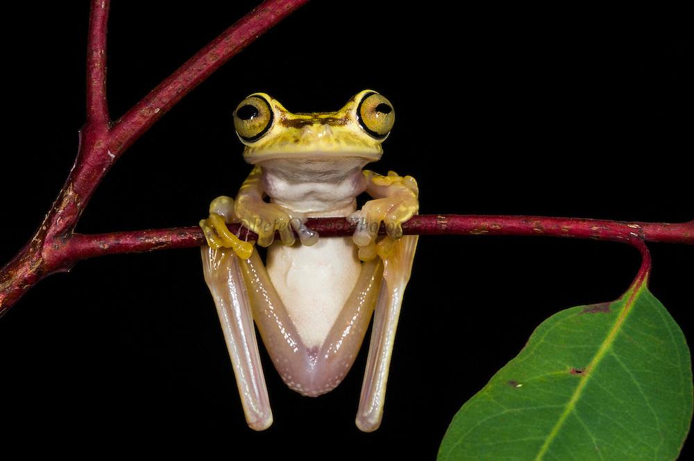 Imbabura tree frog (Hypsiboas picturatus)<br /> CAPTIVE<br /> Chocó Region of northwest Ecuador<br /> ECUADOR. South America<br /> Declining species<br /> RANGE: Colombia, NW Ecuador,<br /> Lowland and submontane humid rainforest. 50-500m.