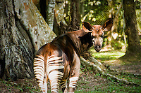 An Okapia Johnstoni, or Okapi, DR Congo's national symbol, and the logo of the Congolese wildlife authority. The endangered animal is most closely related to the giraffe, and is often referred to as the 'forest giraffe'.  An estimated 30,000 survive in the wild, all presumed to be located in the Ituri Rainforest. The Okapi Reserve Capture and Breeding station, a project of Gilman International Conservation, studies, tags, and breeds the exotic animals.