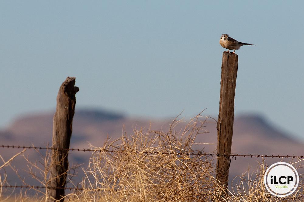 American Kestrel (Falco sparverius).