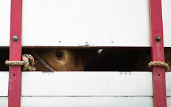 © Licensed to London News Pictures. <br /> 20/09/2014. <br /> <br /> Stokesley, England<br /> <br /> A cow looks out from inside a trailer at the start of the Stokesley Agricultural Show in North Yorkshire, England. The show which dates back to 1859 is the largest one day agricultural show in the north of England.<br /> <br /> Photo credit : Ian Forsyth/LNP