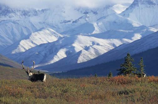 Barren Ground Caribou, (Rangifer arcticus) Bull on tundra. Denali National Park. Alaska. Fall.