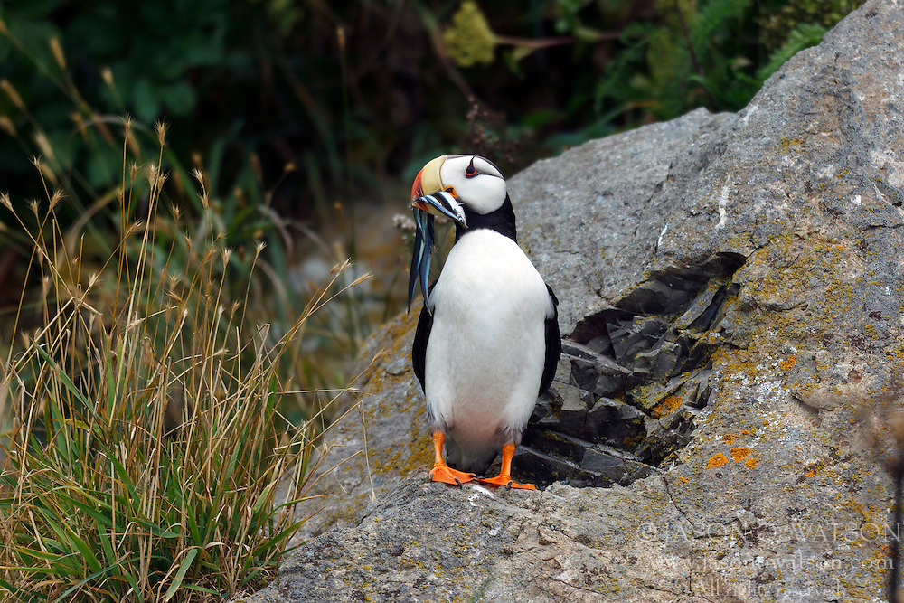 Horned Puffin (Fratercula corniculata) with needle fish standing on a rock, Duck Island, Tuxedni Wilderness, Alaska Maritime National Wildlife Refuge, Alaska, United States of America