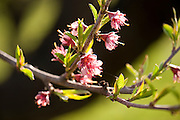 Peach tress blossoming at GM Farms, Sauvie Island, Portland, Oregon