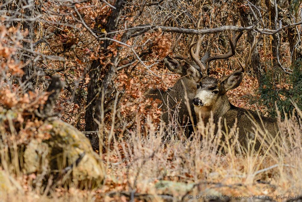 Mule Deer [Odocoileus hemionus] bucks, resting; Indian Springs, Colorado