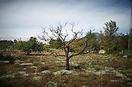 Terzigno, Italia - 18 ottobre 2010. Un albero secco alle falde del Vesuvio, a poche centinaia di metri dalla discarica di Terzigno, conseguenza eloquente dell'inquinamento delle falde acquifere e dell'aria circostante..Ph. Roberto Salomone Ag. Controluce.ITALY - A dead tree few hundreds metrs away from the Terzigno dump on October 18, 2010. The dead tree is a direct consequence of the pollution caused by the Terzigno dump.