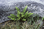 Rusty-back Fern - Ceterach officanarum