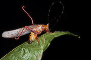 Orange Rainbow Katydid (Vestria sp.)<br /> Yasuni National Park, Amazon Rainforest<br /> ECUADOR. South America<br /> HABITAT & RANGE: