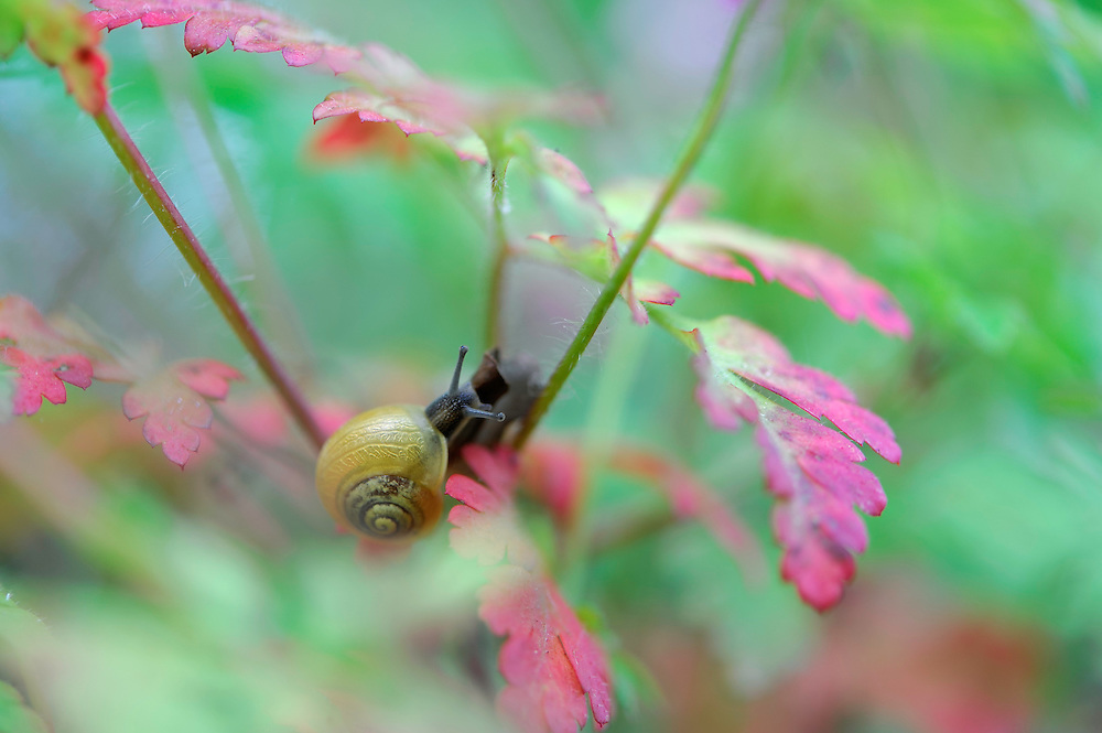 (Cepaea hortensis) White-lipped snail on (Robert geranium), Herb Robert, Mullerthal trail, Mullerthal, Luxembourg