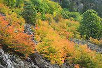 Avalanche slope strewn with boulders and vine maples in full fall color, North Cascades washington