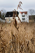 close up on crop in a winter field by a lake in Denmark, Scandinavia, with blurred out houses and sky as backdrop