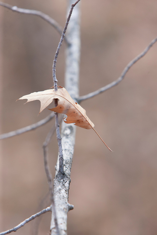 Oak leaf impaled on twig