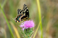 The large Palamedes swallowtail is perhaps the most common of the swallowtails found in SW Florida.