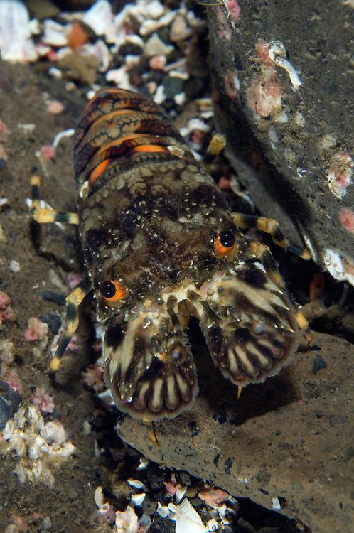 Small European locust lobster, Scyllarus arctus, Pico, Azores, Portugal