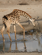 A Massai giraffe (Giraffa camelopardalis) at watering hole in Tarangire National Park, Tanzania, East Africa, Africa