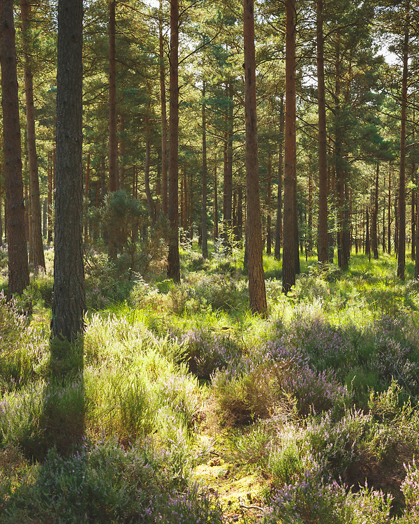 Sunlight streaming through the pine trees of Moors Valley Park on the edge of the New Forest