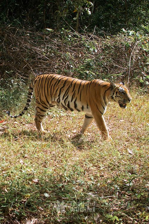 Wild Tiger, Panthera tigris at dusk in a Thai World Heritage site.
