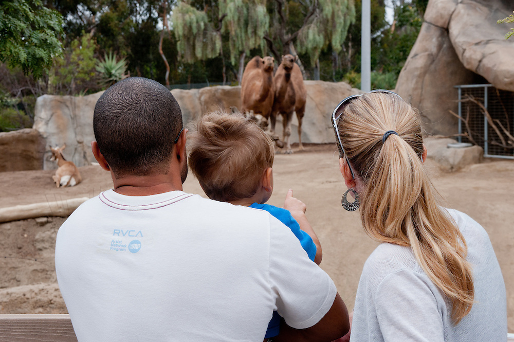 at the San Diego zoo, a boy and his father and mother look at a pair of camels looking back at them.