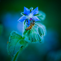 A Honey Bee on a Borage Flower. <br /> <br /> All Content is Copyright of Kathie Fife Photography. Downloading, copying and using images without permission is a violation of Copyright.