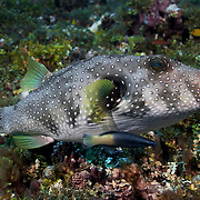 White-spotted pufferfish being cleaned by a bicolor cleaner wrasse. Photograph taken at Ambitle Island, one of the two islands in the Feni Island group, New Ireland, Papua New Guinea.