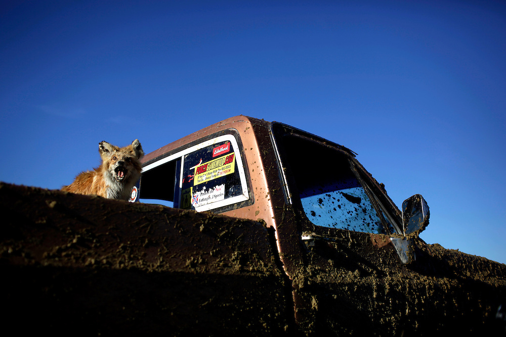 A stuffed fox looks out of the flatbed of a truck at the Redneck Yacht Club in Punta Gorda, Fla. Photo by: Greg Kahn