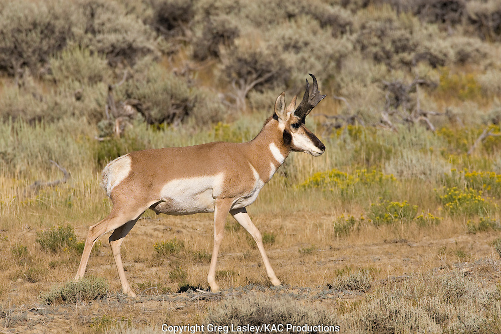 Pronghorn.Antilocapra americana.male.near Bitter Creek,.Sweetwater Co., Wyoming.19 August 2008