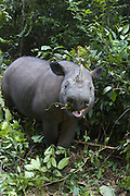 Sumatran Rhinoceros <br /> Dicerorhinus sumatrensis<br /> Browsing <br /> Sumatran Rhino Sanctuary, Way Kambas National Park, Indonesia<br /> *Critically Endangered<br /> *Captive