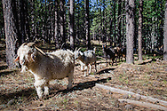 Goats march through a stand of ponderosa pines, on their way to Toadlena Lake, atop the Chuska Mountains.