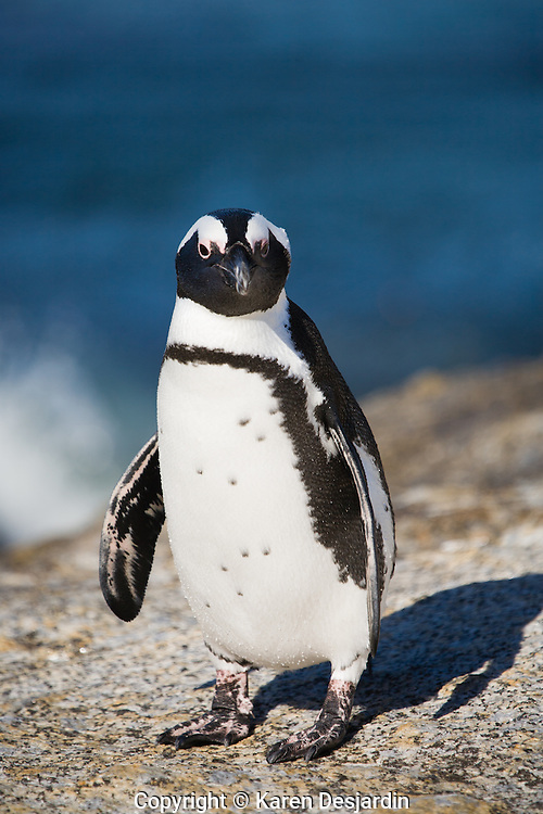 Full length view of an African penguin standing on a rock at Boulders Beach, South Africa.