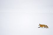 Red Fox (Vulpus vulpus) hunting in deep snow during winter in Yellowstone National Park