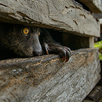 A captive Bear Cuscus (Ailurops ursinus) peers out of a small wooden cage behind a village in Central Sulawesi. Listed as Vulnerable by the IUCN Red List, the Bear Cuscus is endemic to Sulawesi and a few offshore islands where it is restricted to undisturbed rainforest. Central Sulawesi, Indonesia.