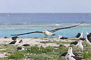 Laysan Albatross flying over colony Midway Atoll