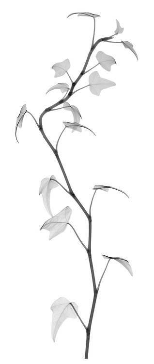 X-ray image of an English ivy strand (Hedera helix, black on white) by Jim Wehtje, specialist in x-ray art and design images.