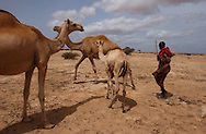El Barde, Somalia.   A herder walk his camels in his way to collect his monthly food ration in a distribution center run by the World Food Programme in El Barde, Somalia.  This region of northern Somalia, close to the Ethiopia's border has been suffering  years of a severe drought.  (PHOTO: MIGUEL JUAREZ LUGO)