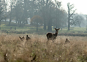 © Licensed to London News Pictures. 29/11/2014. Richmond, UK . A deer looks up from grazing in the long grass. People and animals enjoy the late Autumn sunshine in Richmond Park, Surrey, today 29th November 2014. Photo credit : Stephen Simpson/LNP