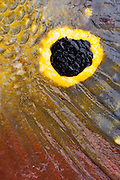 Peacock Bass detail<br />