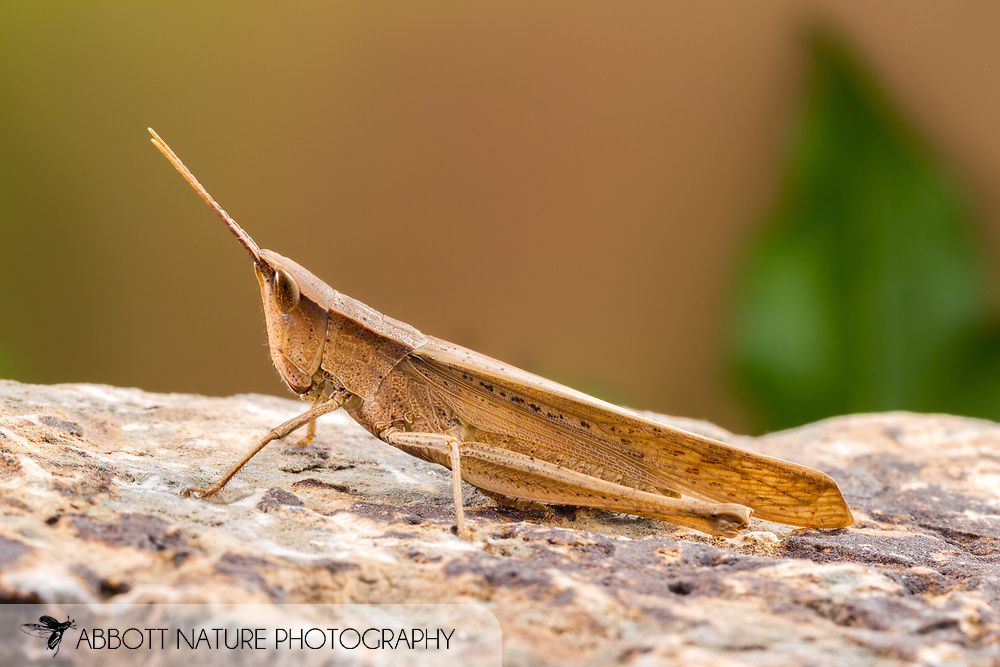 Clip-wing Grasshopper (Metaleptea brevicornis)<br /> United States: Alabama: Tuscaloosa Co.<br /> Tulip Tree Springs off Echola Rd.; Elrod<br /> 24-Jul-2016<br /> J.C. Abbott #2853