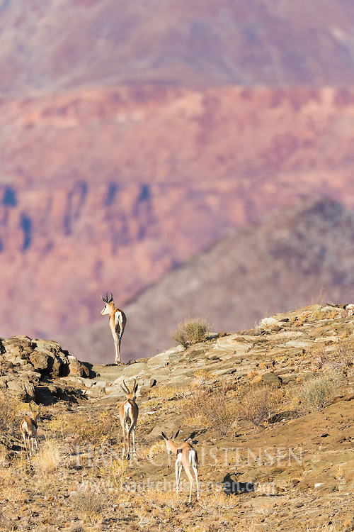 A family of springbok crest a small pass, with the mountains of Damaraland rising in the distance, Twyfelfontein, Namibia.