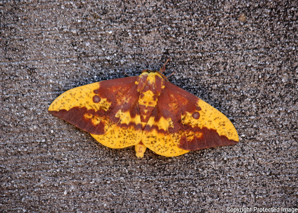 Imperial Moth resting on concrete wall.