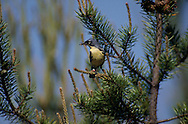 Kirtland's Warbler, Dendroica kirtlandii, with Insect in Jack Pine; Michigan