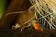 left: Palmate newt (Triturus helveticus) right: Alpine Newt (Triturus alpestris) female. Kiel, Germany | Bergmolch (Triturus alpestris) und Fadenmolch (Triturus helveticus) sind zwei Schwanzlurcharten, die oft gemeinsame Laichgewässer bevölkern.