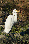 A great egret stands next to a water channel, looking for fish, Redwood Shores, CA.