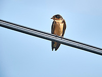 Barn Swallow (Hirundo rustica) perched on a wire  San Juan Cosala, Jalisco, Mexico