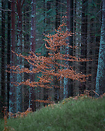 A lone deciduous sapling stands in a clearing in front of a plantation of larch and pine at Lael near Ullapool, Scotland.