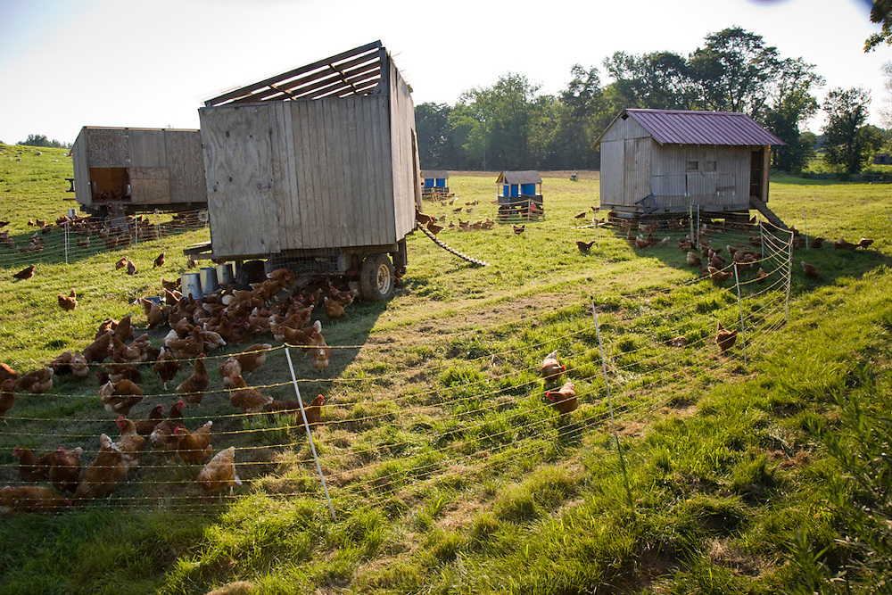Chickens scuttle out of their mobile shelters at Chef Dan Barber's Stone Barns Center for Food & Agriculture  in Pocantico Hills, New York. The restaurant produces and grows much of the fresh food it serves.  (Chef Dan Barber is mentioned in the book What I Eat: Around the World in 80 Diets.)