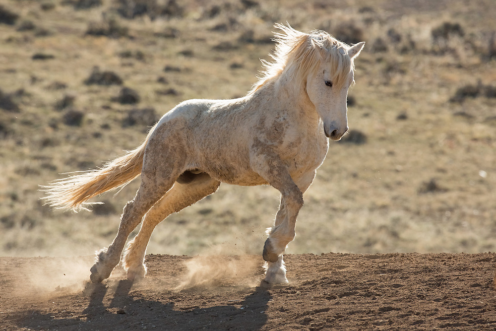 Attempting to impress some nearby mares, this bachelor stallion confidently struts past. The epitome of power and grace, all eyes were on him.