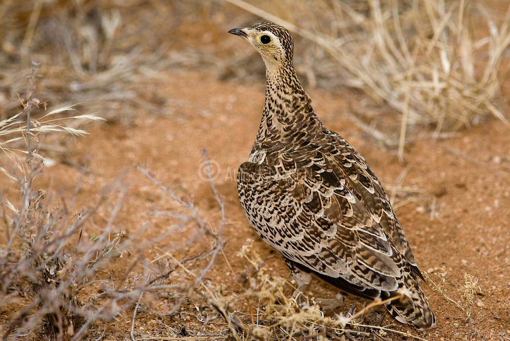 Chestnut-bellied Sandgrouse, Pterocles exustus, from Samburu NP, Kenya.