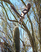Great Horned Owl in Palo Verde tree on my property